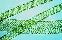 PX08-010c  Spirogyra - green algae - Spirogyra spp.  100x