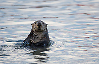 Sea Otter, Homer, Alaska. Photo by James R. Evans.