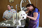 WATERBURY, CT31 December 2013-123113LW01 - Sandy Romano, left, and Bridgett Overbaugh give Milo, a Shihtzu / Bichon Frise mix, an end of year grooming at Fur to Feathers in Watertown Tuesday.<br />
