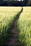 Footpath through barley field, Shottisham, Suffolk, England