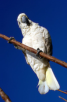 November 5th, 2003_ Gleno, Timor-Leste_ A critically endangered bird, the yellow crested cockatoo (Cacatua sulphurea), perches on the stem of a tree near the town of Gleno, Ermera District.  Photograph by Daniel J. Groshong/Tayo Photo Group