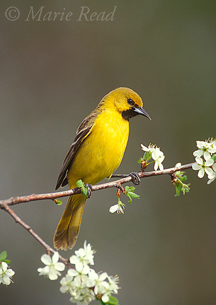 Orchard Oriole (Icterus spurius) first year male in spring, New York, USA<br />