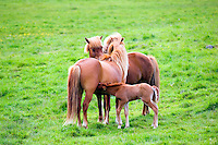 Two Icelandic horses and foal