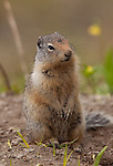 The ubiquitous Columbian Ground Squirrel is a commonly found rodent within Glacier National Park in Montana.