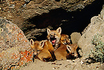 Red fox kits at densite, Montana