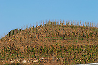 "Vines pruned on stakes, ""echalat"". Terraced vineyard. Mas Igneus, Gratallops, Priorato, Catalonia, Spain."