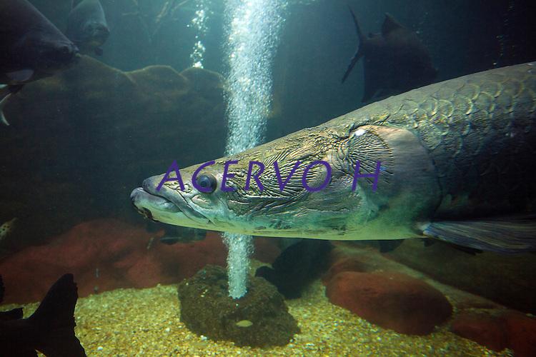 Pirarucu em aqu&aacute;rio<br /> O pirarucu (Arapaima gigas) é um dos maiores peixes de água doce do planeta. Nativo da Amazônia, ele promove benefícios para o ecossistema e comunidades que vivem da pesca. Seu nome vem de dois termos indígenas pira, &quot;peixe&quot;, e urucum, &quot;vermelho&quot;, devido à cor de sua cauda.Por ser um peixe de grandes dimensões, o comprimento quando adulto costuma variar de dois a três metros, e o peso, de 100 a 200 kg. Possui dois aparelhos respiratórios, as brânquias, para a respiração aquática, e a bexiga natatória modificada, especializada para funcionar como pulmão na respiração aérea.A espécie vive em lagos e rios afluentes, de águas claras, com temperaturas que variam de 24&deg; a 37&deg;C. O pirarucu não é encontrado em lugares com fortes correntezas ou em águas com sedimentos.<br /> <br /> Fonte WWF<br /> <br /> Natal, Rio Grande do Norte, Brasil.<br /> Foto Paulo Santos.<br /> 12/2014