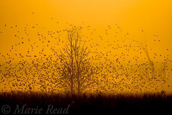 Tree Swallows (Tachycineta bicolor) flying from overnight roost on misty autumn morning, Montezuma National Wildlife Refuge, New York, USA