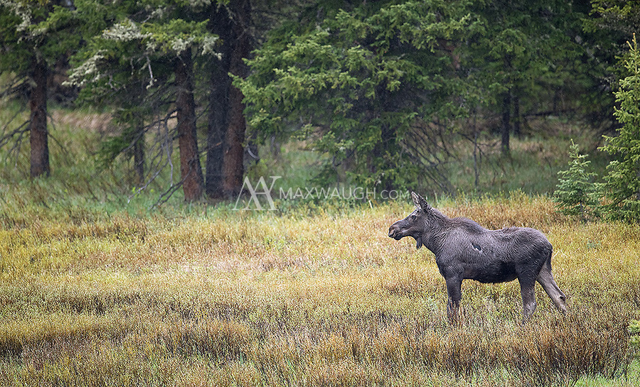 A moose pauses in the middle of a light rain shower near the park's northeast entrance.