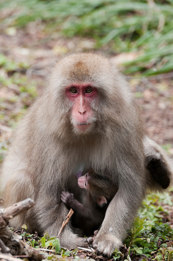 Japanese Macaque (Macaca fuscata) mother and young near Kamikochi in the early spring.