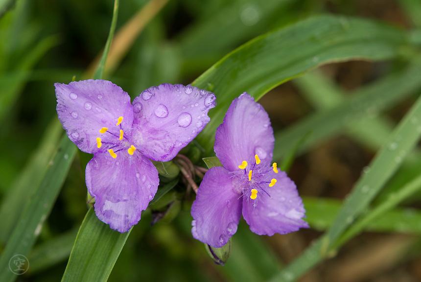 Pale purple spiderwort (Tradescantia) blooming in the rain.