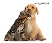 Kim, ANIMALS, REALISTISCHE TIERE, ANIMALES REALISTICOS, fondless, photos,+Tabby kitten, Picasso, 9 weeks old, rubbing in a friendly manner against cute Yellow Labrador puppy, 8 weeks old,++++,GBJBWP41049,#a#