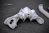 Fin whale (Balaenoptera physalus) skull, with glove as a scale, Jan Mayen Island, North Atlantic Ocean