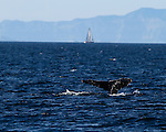 Humpback Whale Fluke with sailboat in the distance.