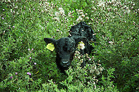 Galloway calf hidden in thistles by it's mother, Isle of Man....Copyright..John Eveson, Dinkling Green Farm, Whitewell, Clitheroe, Lancashire. BB7 3BN.01995 61280. 07973 482705.j.r.eveson@btinternet.com.www.johneveson.com