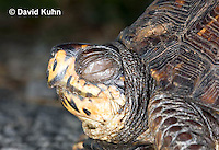 "1003-0801  Male Eastern Box Turtle ""Blinking Eye with Eyelid"" - Terrapene carolina © David Kuhn/Dwight Kuhn Photography."