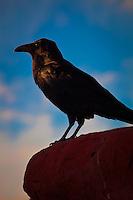 Black Bird Profile