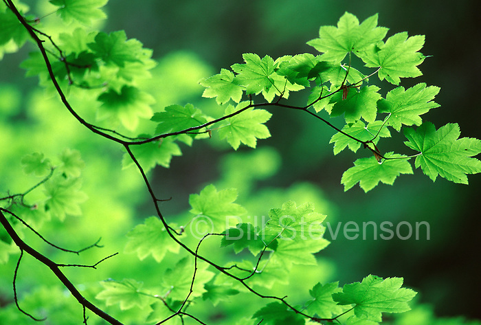 An image of vine Maple leaves near Mount Hood, OR.
