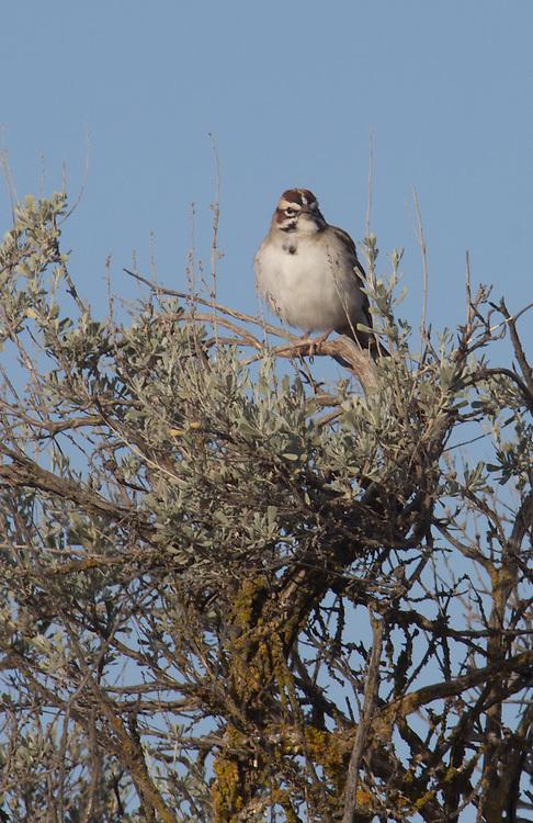 Lark Sparrow,  Chondestes grammacus, Hanford Reach National Monument, Wahluke Slope, shrub steppe habitat, grassland, Columbia Basin, eastern Washington, Washington State, Pacific Northwest, USA, North America,