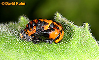 0106-0906  Seven-spotted Ladybug Pupa, Coccinella septempunctata, Virginia  © David Kuhn/Dwight Kuhn Photography