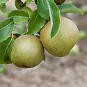 """Pear 'Passe Crassane', early September. A French pear """"raised by M. Boisbunel of Ruen in 1845 and first fruited in 1855. This is a good quality late pear but does not generally ripen well in Britain, requiring a warm wall or fence...[best] after a hot summer or in a warmer climate."""" ('Pears' by Jim Arbury and Sally Pinhey)"""