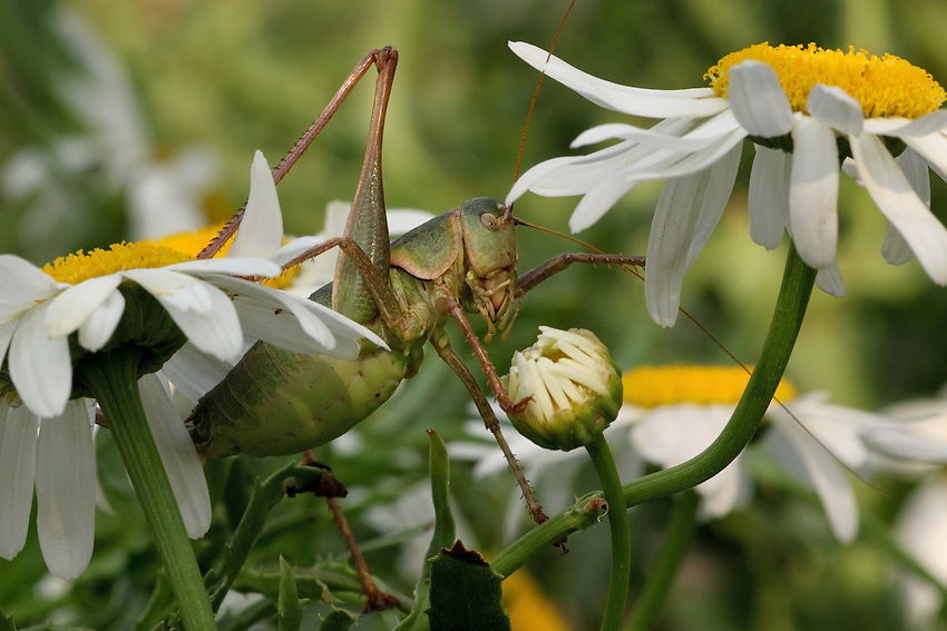 The large Shasta daisy is characterized by a distinct odor which some find unpleasant, and makes them unusual amongst flowers. Hopper is from the family Tettigoniidae, genus Anabrus.