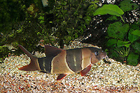0116-0915  Clown Loach (Tiger Botia), Chromobotia macracanthus  © David Kuhn/Dwight Kuhn Photography.