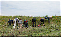 BNPS.co.uk (01202) 558833<br /> Picture: Peter Willows<br /> <br /> The multi-agency search team (l-r) Dorset Wildlife, Naural England, Dorset Environmental Record centre, The National Trust, National Museum of Wales.<br /> <br /> A crack multi-agency search party descended on a secret location near Weymouth yesterday in a search for one of Britains rarest plants - after a 16 year conservation plan has finally rescued it from danger.<br /> <br /> The botanists hailed the success of the painstaking project to save a Wild Asparagus plant, dubbed the loneliest plant in Britain after being found growing without a mate on Portland Bill in Dorset in 1997, from dying out after they mated it with a partner from 175 miles away. <br /> <br /> The female plant produced 60 seeds which were carefully propagated in a greenhouse and then planted back on Portland bill. Out of the original plants, 51 are thriving today and 11 of them - seven males and four females - have now flowered for the first time.<br /> <br /> Experts from the National Trust, Dorset Wildlife Trust, Natural England and the National Museum of Wales took part in the painstaking search for the tiny plants.
