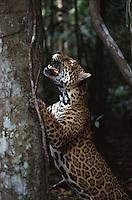 É o maior felino das Américas e o único representante atual do gênero Panthera no continente. O seu corpo é robusto, musculoso e compacto, com comprimento variando entre 1,10 a 2,41 m e massa entre 35 a 130 kg, podendo chegar a 158 kg. As fêmeas são até 25% mais leves do que os machos.<br /> Uma onça-pintada pode ocupar, durante sua vida, uma área que pode variar de 33,4 km² até 142,1 km².<br /> A coloração padrão varia do amarelo-claro ao castanho-ocreáceo, sendo coberta por manchas negras, formando rosetas de tamanhos distintos, com pintas em seu interior.<br /> A espécie possui um padrão de atividade crepuscular-noturno e mais de 85 espécies-presa já foram relatadas em sua dieta. Suas principais presas são a queixada (Tayassu pecari) e a capivara (Hydrochaeris hydrochaeris).<br /> As onças-pintadas são encontradas em altitudes entre o nível do mar e 3.800 m, e são solitários. A interação entre machos e fêmeas ocorre apenas durante o período de acasalamento.<br /> A gestação varia de 90 a 111 dias, podendo nascer de um a quatro filhotes, sendo a média de dois filhotes por gestação (SILVEIRA, L.; CRAWSHAW JR., P., 2008).<br /> <br /> Amazonas, Brasil.<br /> <br /> ©Foto: Marcello Lourenço