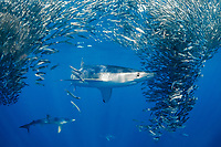 blue shark, Prionace glauca, attacking and feeding on baitball of anchovies, Engraulis mordax, offshore, open ocean, San Diego, California, USA, Pacific Ocean