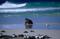 Océanie/Australie/Australie Méridionale/Ile Kangaroo/Seal Bay : Phoques (Sea lions)