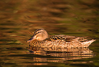 35-B02-MA-165    MALLARD (Anas platyrhynchos) female on pond, western Oregon, USA.