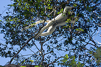 Verreaux's sifaka in midair jumping from tree to tree