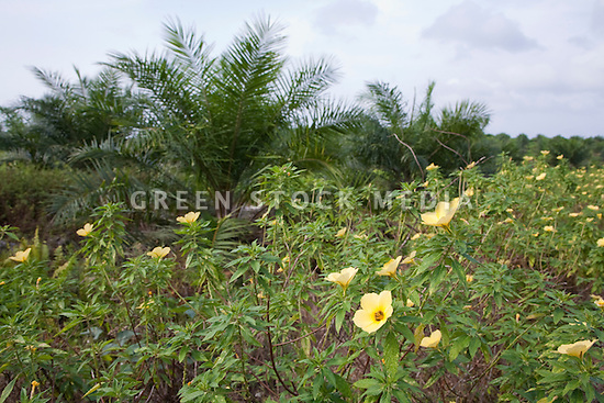 Flowering plants along the roadway have been planted to attract pollinator species. The Sindora Palm Oil Plantation, owned by Kulim, is green certified by the Roundtable on Sustainable Palm Oil (RSPO) for its environmental, economic, and socially sustainable practices. Johor Bahru, Malaysia