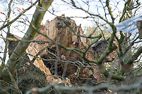 Saturday 10 January 2015<br /> Pictured: Fallen tree<br /> RE: Severe gales across Wales break in half a 100 year old beech tree from a garden falling across Penllwyn Lane in Graig-Y-Rhacca, Caerphilly, road closed.