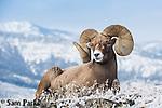 Bedded bighorn sheep ram. Park County, Montana.
