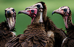 Hooded Vulture, Monachus gambia, group together on grass, West Africa. .Gambia....