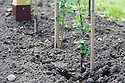 Newly planted gooseberry cordon.