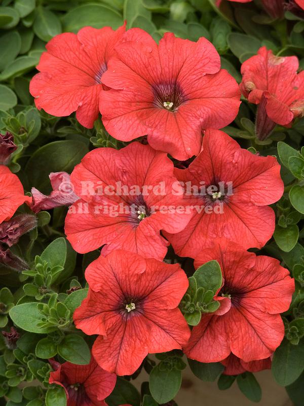 Petunia Supertunia Red