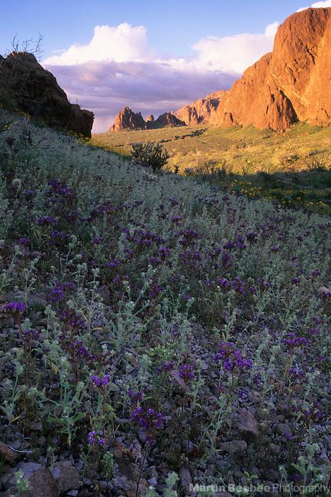 Scorpionweed (Phacelia crenulata) and evening light on cliffs, Kofa National Wildlife Refuge, Arizona