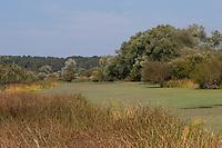 Tümpel mit Wasserlinse, Wasserlinsen in Norddeutschland, Altarm, Wendland, Elbtalaue