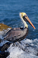 Brown Pelican (Pelecanus occidentalis).  Florida coast.