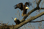 Bald eagles (Haliaeetus leucocephalus) jump around their nest.<br />