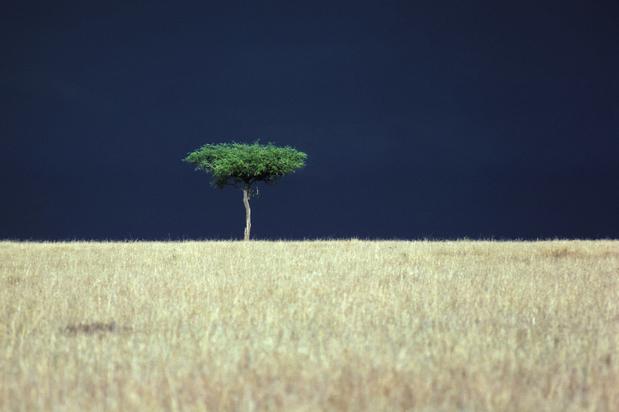 Acacia Tree Before Rain On The Masai Mara.