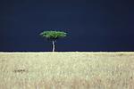 Acacia Tree Before Rain On The Masai Mara.