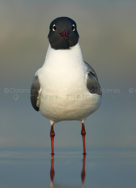 Laughing Gull (Larus atricilla) looking straight at the camera