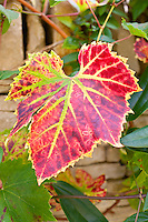 Autumn colours of a leaf on a grapevine on stone wall in country garden at Swinbrook in The Cotswolds, Oxfordshire, UK