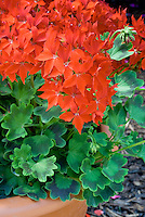 Pelargonium Fireworks Scarlet zonal geranium, annual flowers red with patterned green foliage, in pot container planter