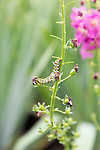 Mullein moth caterpillar feeding, Cucullia verbasci, Suffolk, England, UK