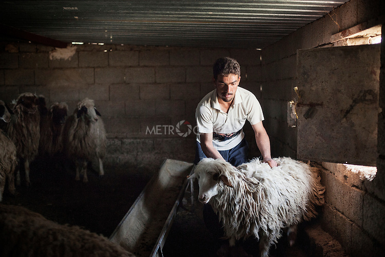 28/04/15. Awbar Village, Darbandikhan area, Iraq. -- Saif prepares one sheep for clipping.